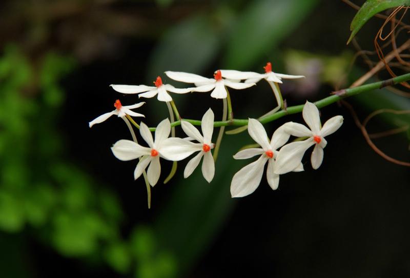 plante carnivore Orchidée Aerangis