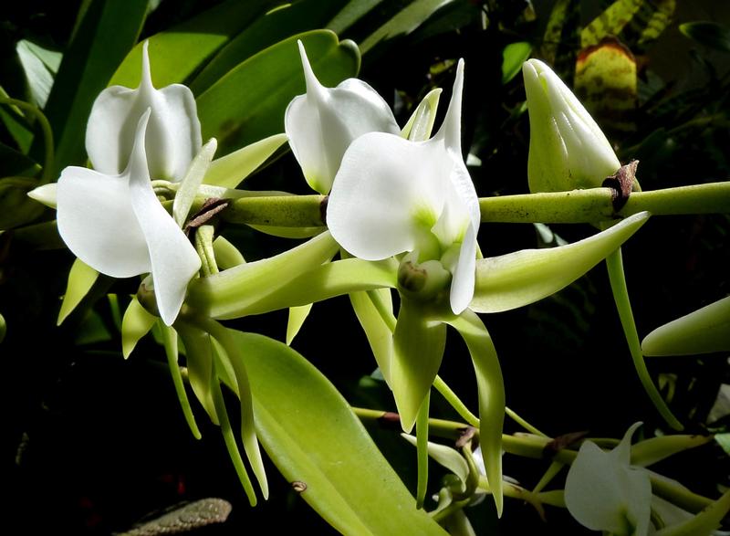 Orchidée Angraecum