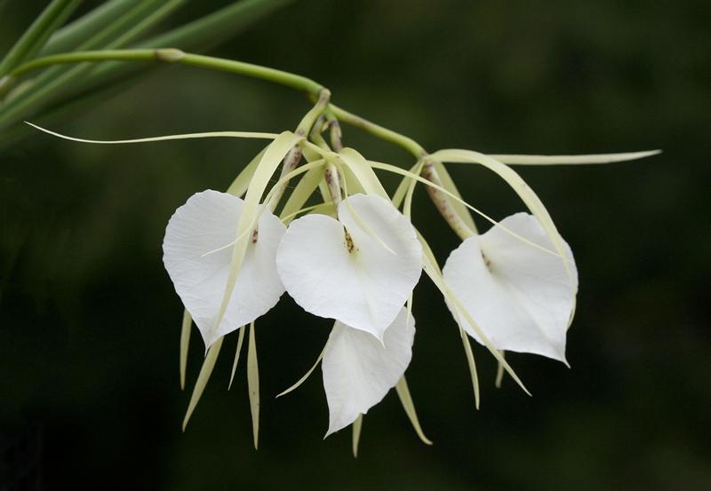 plante carnivore Orchidée Brassavola