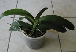 La multiplication des orchidées