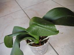 Pourquoi les feuilles de mon orchidée sont-elles molles ?